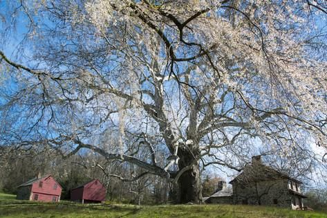 A Giant Sycamore Tree at the Brandywine Battlefield Historic Site Photographic Print by Michael Melford at AllPosters.com
