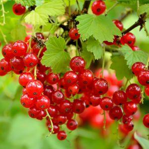 grosellas - http://www.ecoagricultor.com/mora-frambuesa-arandanos-grosella-propiedades-frutos-bosque/frut
