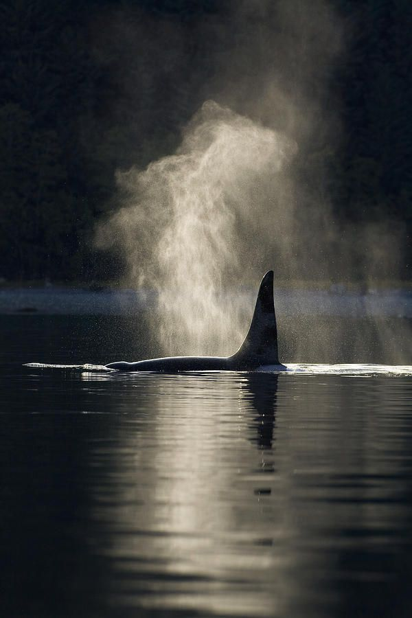An Orca Whale Exhales Blows Photograph