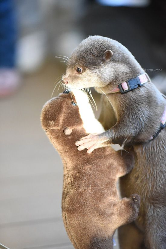 Otter slow dances with his plushy friend - December 29, 2016