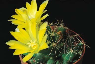Mammillaria longimamma (Dolichothele)  Esposizione a mezza ombra o all'ombra in quanto è specie che cresce nei boschi. Necessita di vasi ampi e profondi. Annaffiare abbondantemente durante l'estate. Temperatura minima invernale: +5 gradi centigradi.
