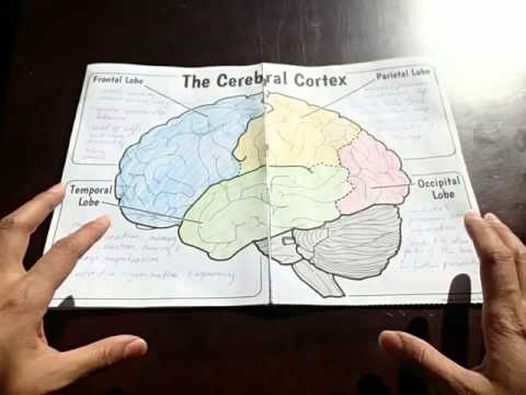 Watch how to use a BIG BRAIN foldable to teach the internal structures of the brain and the areas of the cortex..
