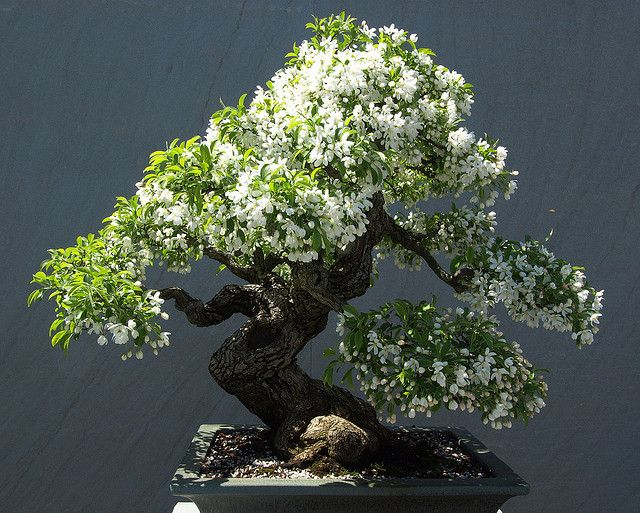 Blooming bonsai by mr tata, via Flickr