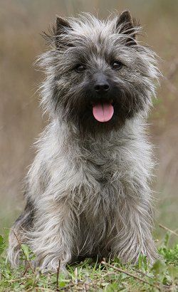 Cairn Terrier ...looks almost like my Sunny. I say almost because my boy is way more handsome!!
