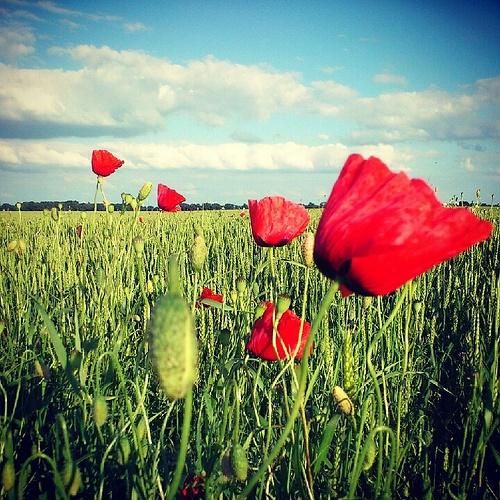 poppies - Westerwolde, Groningen, The Netherlands
