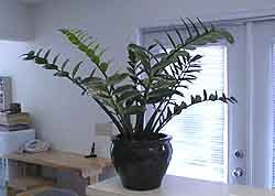 ZZ Plant. good for low light low water so it will be perfect & 198 best Zz plant images on Pinterest | Houseplants Low lights ... azcodes.com