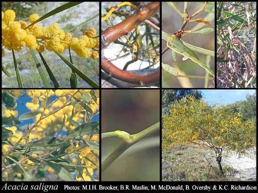 Acacia saligna 6m