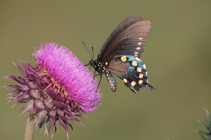 https://flic.kr/p/bUfktC | Pipevine Swallowtail | All winter long I anticipate spring and the blooming of the thistle.  A  wide variety of butterflies and other bugs are attracted to its plentiful table.      This Pipevine is displaying its blue coloration in the late afternoon sun.  I used some fill flash to accentuate the thin film interference effect.