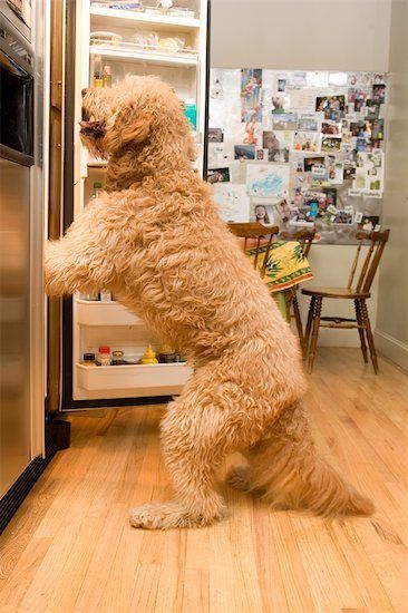 Bad golden doodle lookin for a treat…