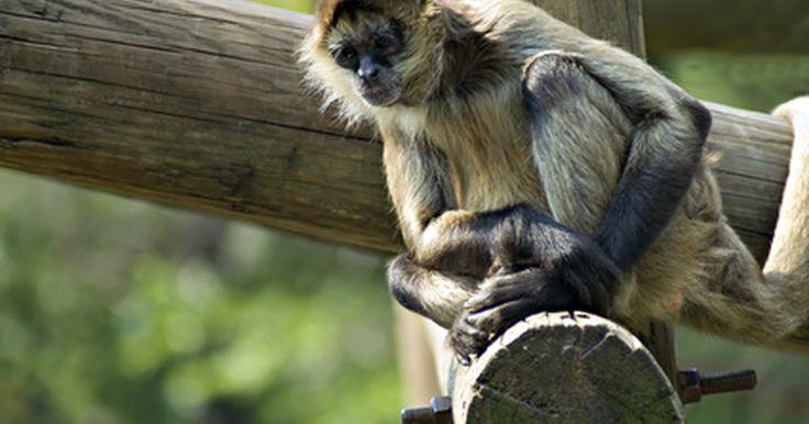 """Cómo hacer un mono con papel maché. Papel maché viene de las palabras francesas """"papier mâché"""", que significa papeles unidos por un adhesivo, tales como el pegamento o la cinta adhesiva. Un mono de papel maché es fácil de elaborar con materiales que tienes en tu casa. Con trozos de papel que tengas como los de papel periódico o papel de las bolsas del supermercado pueden pegarse con ..."""
