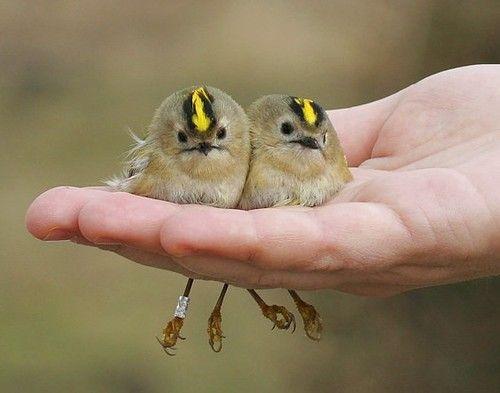 Cute little pair: Goldencrown Kinglet, Cute Birds, Little Birds, Crowns Kinglet, Pretty Birds, Beautiful Birds, Golden Crowns, Baby Birds, Feathers Friends