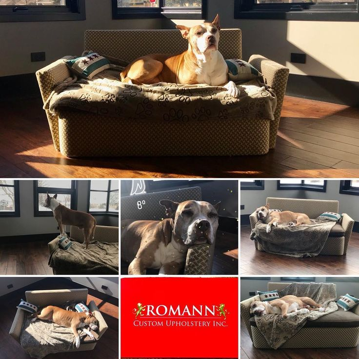 Sofas for your best friend with washable slipcovers. MADE TO ORDER ANY STYLE SOFA.  Human can sit on it too! #pitbull #pitbullsofinstagram p#pitbulllove #dogbed #dogbeds #petsofa #furybaby #dog #dogSofa #King #omen ##dogsofinstagram #dogsofinsta #dogs_of_instagram #dogslife #chicago #chicano #love #life & #furniture www.romannchicago.com 773-777-1745  ship internationally