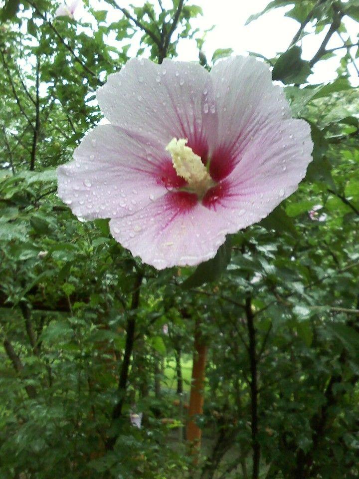 무궁화 korean national flower