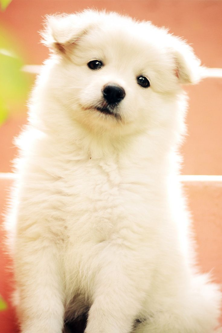 A Cute White Puppy Cute Animals Cute White Puppies Cute Husky Puppies