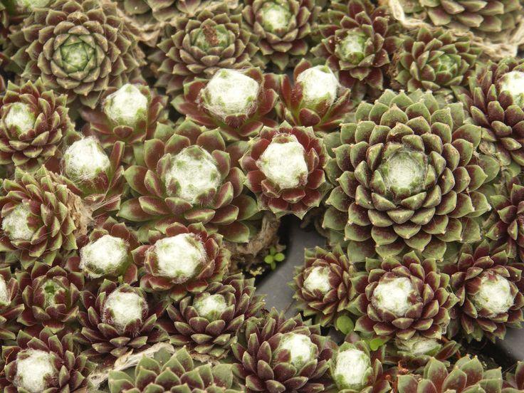 Sempervivum 'Ulrike' Hauswurz Dachwurz Spinnweb 3x | Garten & Terrasse, Pflanzen, Sämereien & Zwiebeln, Pflanzen, Bäume & Sträucher | eBay!