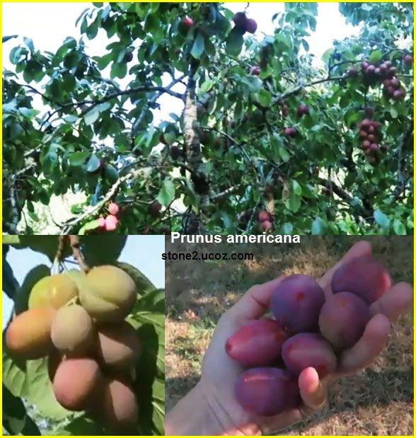 الخوخ الامريكي او برقوق امريكي Prunus Americana قسم الفواكه النبات معلومات نباتية وسمكية معلوماتية Prunus Fruit Plum