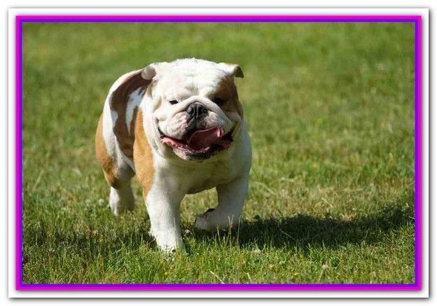 Best Dog Food For Bulldogs With Gas Taste Of The Wild Canine