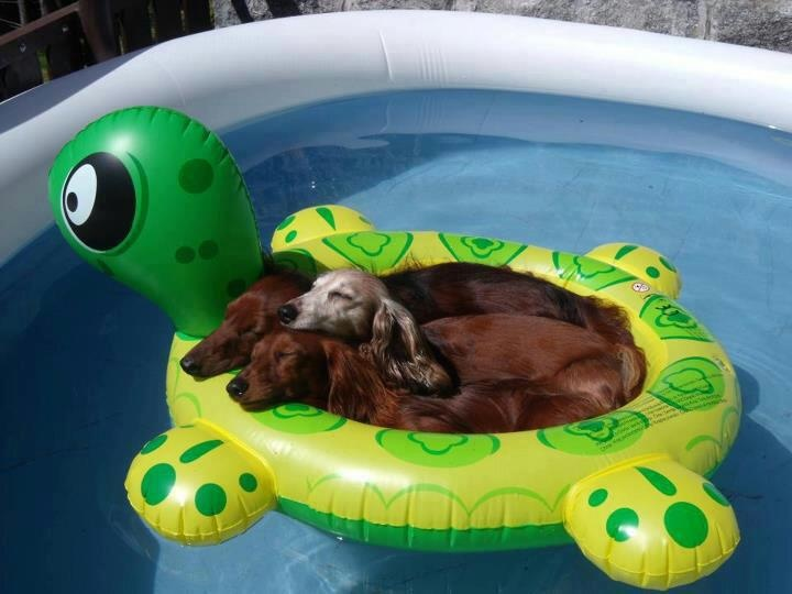 Dachshunds floating in a pool