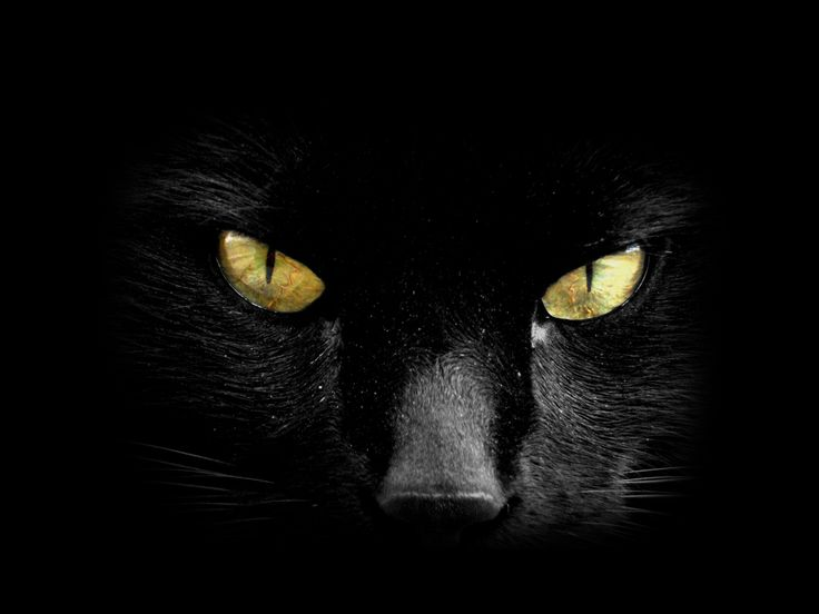 Primo piano di un Bellissimo Gatto Nero