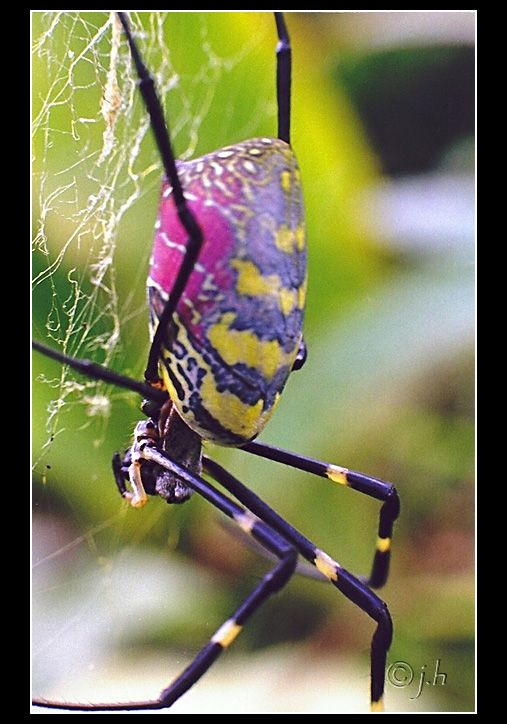 beautiful garden spider.  The golden silk orb-weavers (genus Nephila) are a genus of spiders noted for the impressive webs they weave. Nephila consists of numerous individual species found around the world.