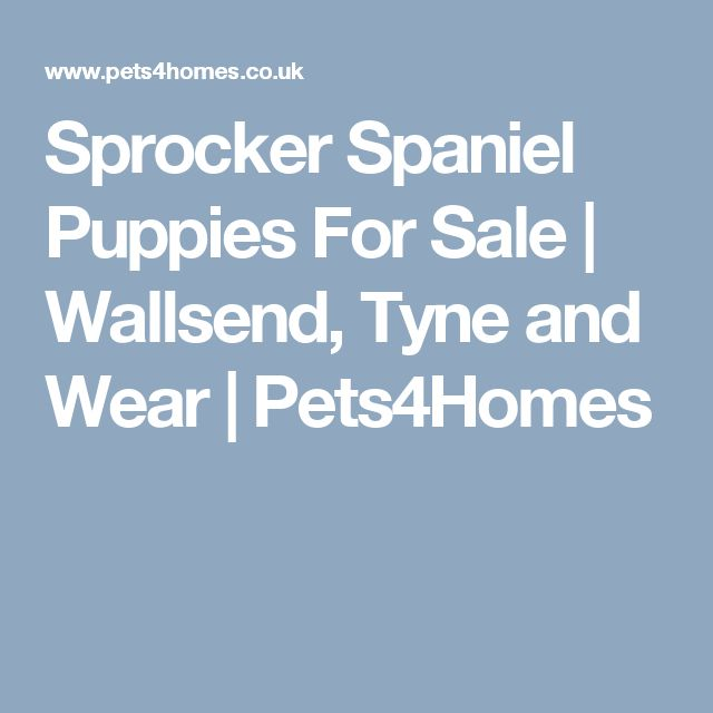 Sprocker Spaniel Puppies For Sale | Wallsend, Tyne and Wear | Pets4Homes
