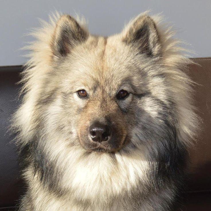 Eurasier Gris Sable Charbonn 233 Grey Dog Eurasier Chien Loup