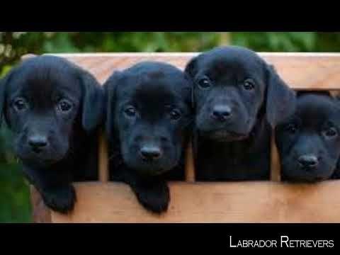 Lab Labradorable Labradores Black Labrador Retriever Labrador Retriever Labrador Retriever Dog