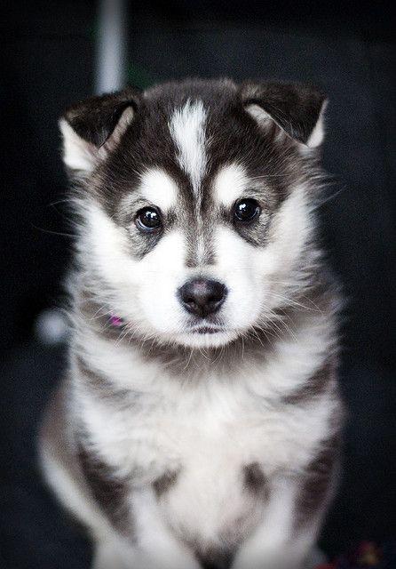 Beautiful Akita Puppy #dog #akita #animal