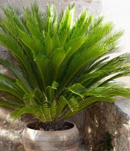 best 25 sago palm tree ideas on pinterest sago palm palm tree care and sago palm care. Black Bedroom Furniture Sets. Home Design Ideas