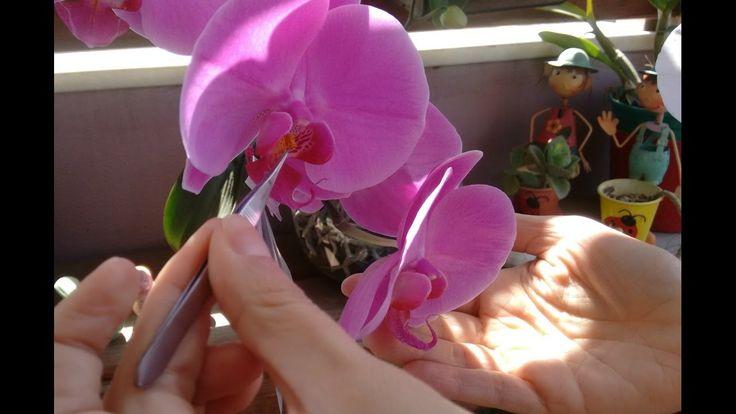 Polinização em orquídeas, faça suas próprias sementes.