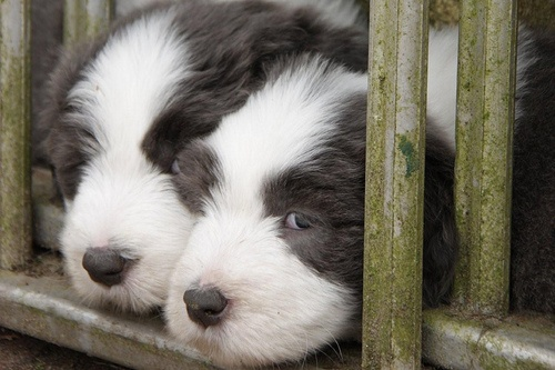 Bearded Collies Pups