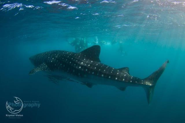 Whale Shark, Exmouth