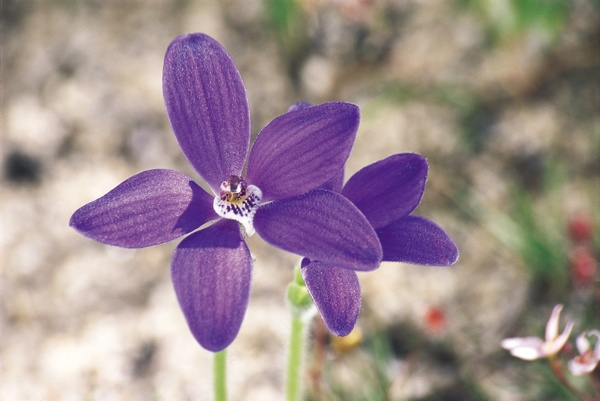 Wildflowers of Western Australia -- Blue China Orchid