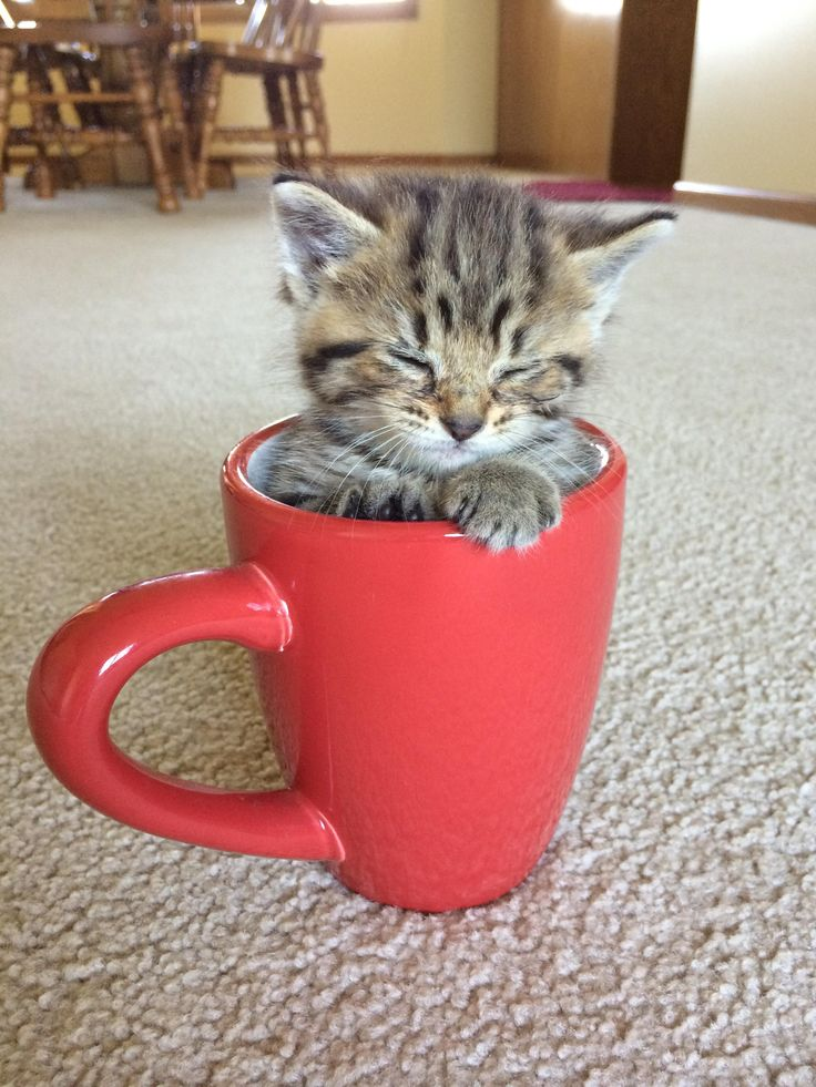 Teacup Kitten. I so want one. Don't laugh, it's instant girlfriend bait.