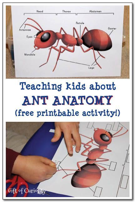 A free printable cut-and-paste activity to teach kids about the anatomy of an ant.  This printable activity would make a great addition to any learning about ants. #insectprintables #ants #handsonlearning    Gift of Curiosity