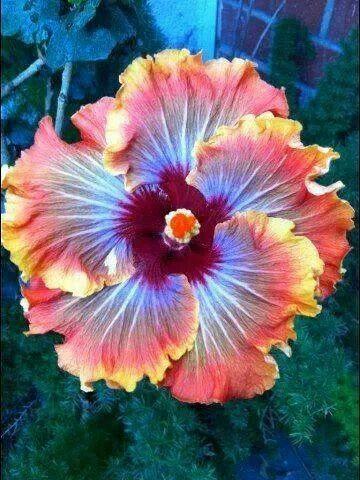Tiki-Torch hibiscus