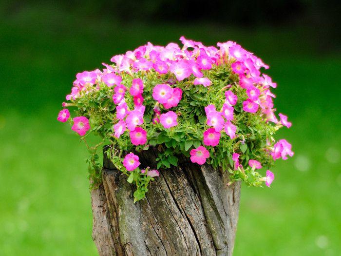 Petunior planterade i en gammal stubbe. Foto: Shutterstock