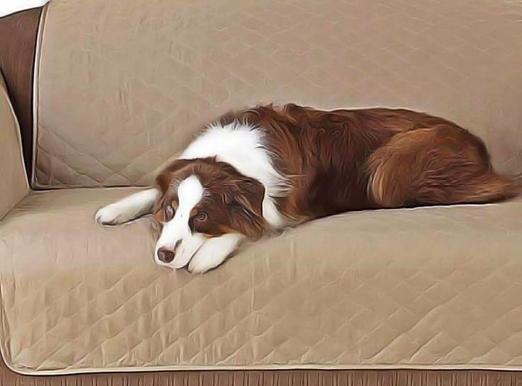 Comment calmer les problèmes d'estomac du chien ? Comprendre d'où vient la cause ? 3 remèdes maison contre les maux d'estomac du chien. Remèdes naturels.
