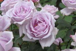 バラの育て方−ハイブリッド