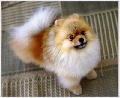 fluffy pom