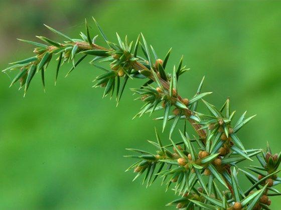 Common juniper (Junipe...