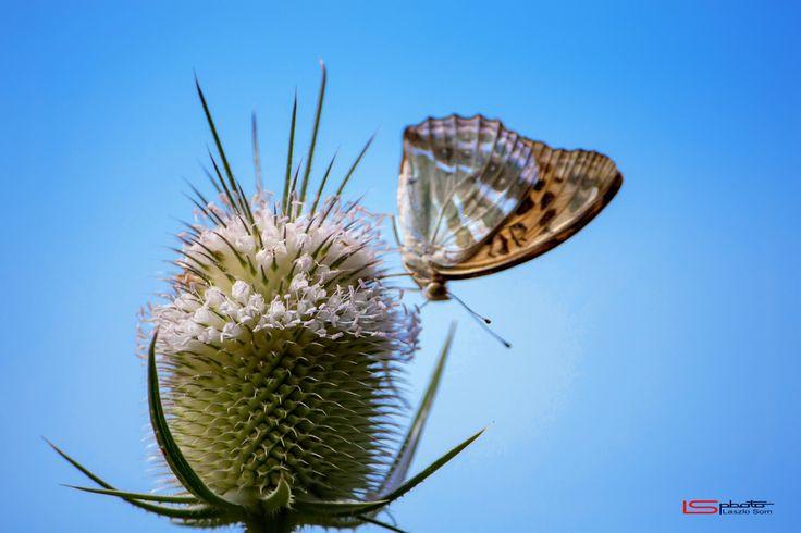 Butterfly by Laszlo Som on 500px