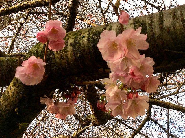 Flori de cireș martie 2015