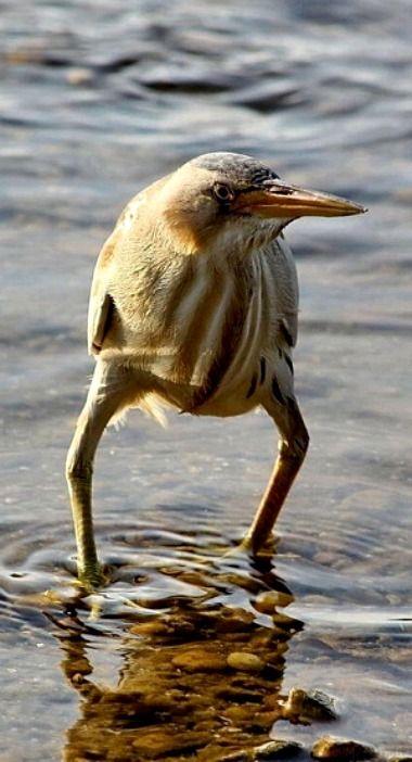Rare sighting of a Cowboy Bird, LOL