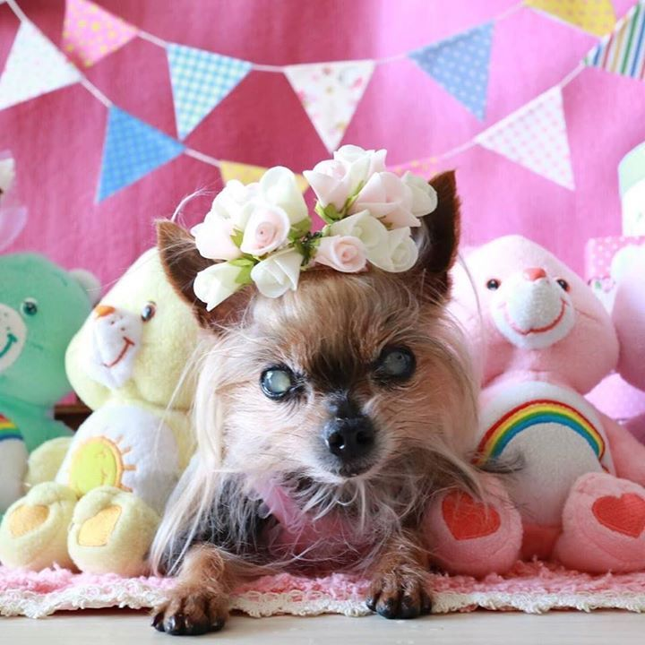 2016.3.15 #ヨーキー #ヨークシャテリア #多頭飼い #仲良し #わんこ #シニア犬 #yorkie #terrier #yorksireterrier #dog #dogs #dogstagram #cute #love #カメラ#dogsofinstagram #instadog #todayswanko #eosm3 #dogs_of_instagram #lovemydog #撮影#cutedogs #lovedogs #petstagram #olddog #チームシニアヨーキー #カメラ女子 #キャノン  by mini_mini_rin  http://bit.ly/teacupdogshq