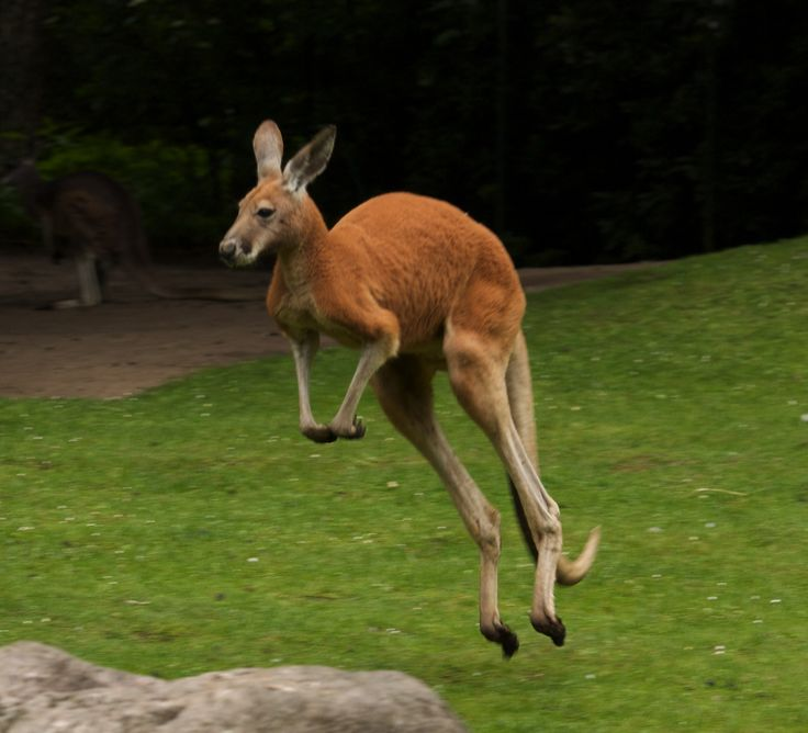 The Red Kangaroo of the semi-arid inland of Australia typically weighs 85 kg,