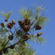 How to Harvest Pine Seeds for Planting