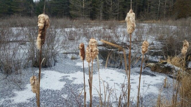Cattails along the trail.