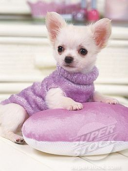 Cute Pictures Chihuahuas - Bing Images