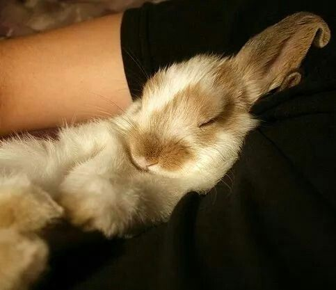 Bunny sleeping in the arms of it's owner.... Too cute